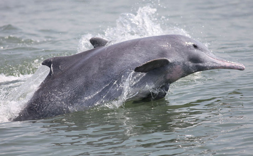 Indian Ocean Humpback Dolphin